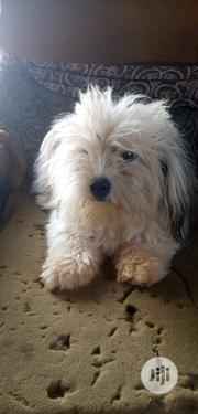 Young Male Purebred Lhasa Apso   Dogs & Puppies for sale in Ogun State, Ijebu Ode