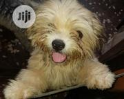 Young Female Purebred Lhasa Apso | Dogs & Puppies for sale in Lagos State, Shomolu