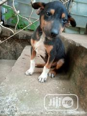 Baby Male Mixed Breed Basenji | Dogs & Puppies for sale in Oyo State, Ibadan South West