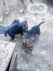 Young Female Mixed Breed German Shepherd Dog | Dogs & Puppies for sale in Oyo State, Ona-Ara
