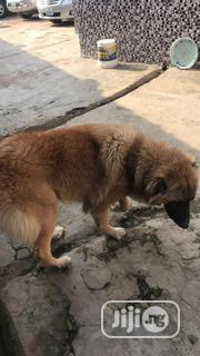 Adult Female Purebred Caucasian Shepherd Dog | Dogs & Puppies for sale in Oyo State, Ibadan South East
