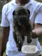 Baby Male Mixed Breed German Shepherd Dog | Dogs & Puppies for sale in Rivers State, Obio-Akpor