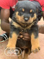 Baby Male Purebred Rottweiler | Dogs & Puppies for sale in Abuja (FCT) State, Lokogoma