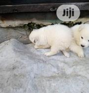 Baby Male Purebred Samoyed | Dogs & Puppies for sale in Lagos State, Kosofe