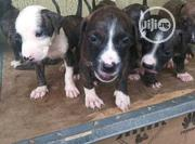 Baby Female Purebred American Pit Bull Terrier | Dogs & Puppies for sale in Lagos State, Magodo