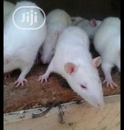 Albino Rats Available | Other Animals for sale in Lagos State, Surulere