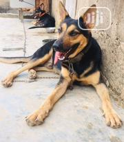Adult Male Purebred German Shepherd Dog | Dogs & Puppies for sale in Lagos State, Ifako-Ijaiye