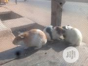 Guinea Pigs #2500 Each | Livestock & Poultry for sale in Kwara State, Ilorin East