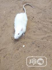 White Pet Rat | Other Animals for sale in Kwara State, Ilorin East