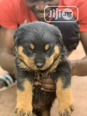 Baby Male Purebred Rottweiler | Dogs & Puppies for sale in Abuja (FCT) State, Galadimawa