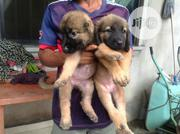 Baby Female Mixed Breed Caucasian Shepherd Dog | Dogs & Puppies for sale in Rivers State, Port-Harcourt