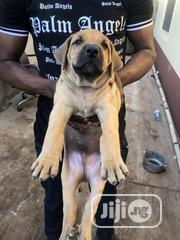 Baby Female Purebred Boerboel | Dogs & Puppies for sale in Oyo State, Ibadan North