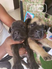 Baby Male Purebred Boerboel | Dogs & Puppies for sale in Lagos State, Lekki Phase 2