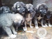 Baby Male Purebred Caucasian Shepherd Dog | Dogs & Puppies for sale in Oyo State, Oluyole