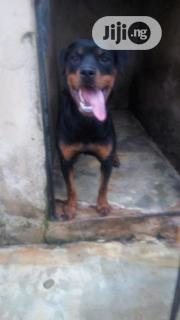 Young Female Purebred Rottweiler | Dogs & Puppies for sale in Oyo State, Ibadan South West