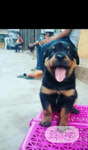 Baby Female Purebred Rottweiler | Dogs & Puppies for sale in Lagos State, Ipaja