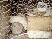 Healthy Rats Raised In Healthy Environment For All Researches | Other Animals for sale in Lagos State, Ojo