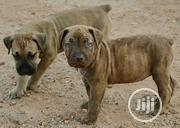 Young Female Purebred Boerboel | Dogs & Puppies for sale in Ogun State, Abeokuta South