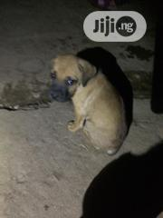 Baby Female Purebred Boerboel | Dogs & Puppies for sale in Abuja (FCT) State, Karu
