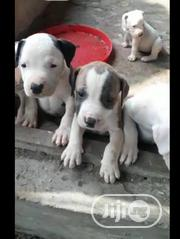 Baby Female Purebred American Pit Bull Terrier | Dogs & Puppies for sale in Lagos State, Shomolu