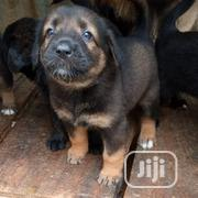 Baby Male Purebred German Shepherd Dog | Dogs & Puppies for sale in Lagos State, Kosofe