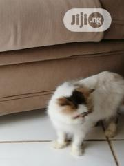 Young Female Purebred Persian | Cats & Kittens for sale in Lagos State, Lekki Phase 1