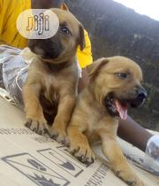 Baby Female Purebred Boerboel | Dogs & Puppies for sale in Ogun State, Sagamu