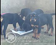 Senior Male Purebred Rottweiler | Dogs & Puppies for sale in Lagos State, Alimosho