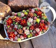 Succulent Flower Bonsai Seeds   Feeds, Supplements & Seeds for sale in Lagos State, Agege