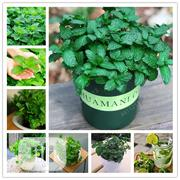 Mint Seedling Herb Edible Plants In Bonsai Seeds | Feeds, Supplements & Seeds for sale in Lagos State, Agege