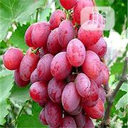 Grape Bonsai Seeds | Feeds, Supplements & Seeds for sale in Lagos State, Agege