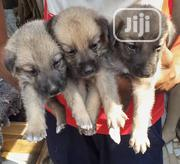 Baby Male Purebred German Shepherd Dog | Dogs & Puppies for sale in Lagos State, Ipaja