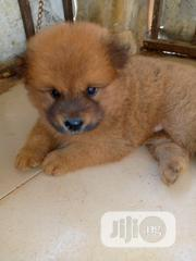Baby Male Purebred Chow Chow | Dogs & Puppies for sale in Ogun State, Ado-Odo/Ota