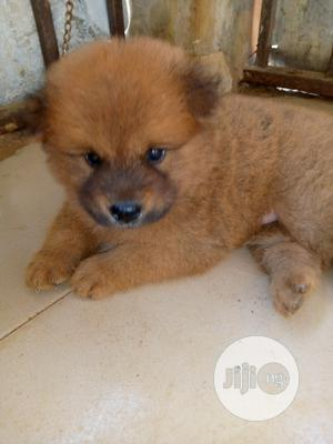 Baby Male Purebred Chow Chow