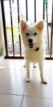 Young Female Purebred American Eskimo Dog | Dogs & Puppies for sale in Oyo State, Ibadan North