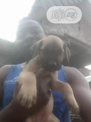 Baby Female Purebred Boerboel | Dogs & Puppies for sale in Lagos State, Ikorodu