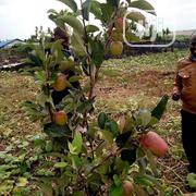 Apple Fruits And Seedlings | Feeds, Supplements & Seeds for sale in Lagos State, Lagos Mainland