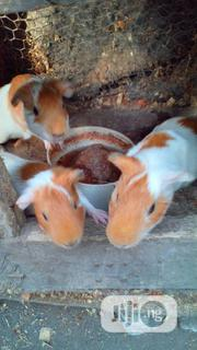 Mature Healthy Guinea Pigs Available For Sale   Livestock & Poultry for sale in Lagos State, Ojo