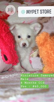 Baby Male Purebred American Eskimo Dog   Dogs & Puppies for sale in Lagos State, Badagry