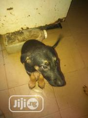 Baby Male Purebred German Shepherd Dog | Dogs & Puppies for sale in Lagos State, Lagos Mainland