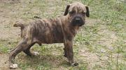Baby Female Purebred Boerboel | Dogs & Puppies for sale in Lagos State, Lagos Mainland