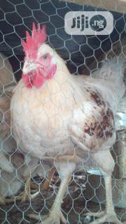 Matured Big Broilers For Sale | Livestock & Poultry for sale in Lagos State, Ojo