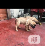 Baby Female Purebred Boerboel | Dogs & Puppies for sale in Lagos State, Ipaja