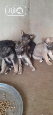 Baby Male Mixed Breed Rottweiler   Dogs & Puppies for sale in Ogun State, Ado-Odo/Ota