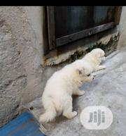 Baby Male Purebred American Eskimo Dog | Dogs & Puppies for sale in Lagos State, Shomolu