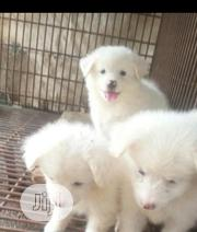 Baby Male Purebred Samoyed | Dogs & Puppies for sale in Lagos State, Oshodi-Isolo