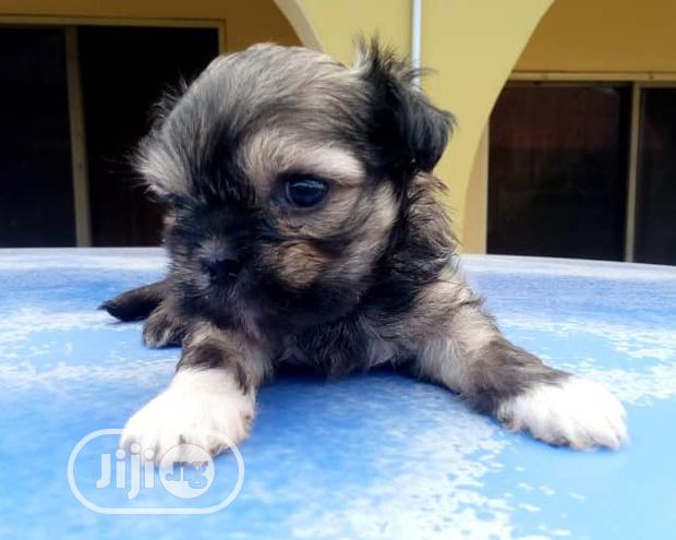 Archive: Baby Female Purebred Lhasa Apso