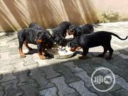 Baby Male Purebred Rottweiler | Dogs & Puppies for sale in Lagos State, Lekki Phase 1