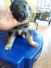 Baby Female Purebred German Shepherd Dog | Dogs & Puppies for sale in Ogun State, Odeda