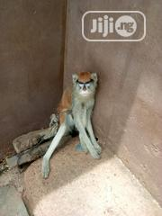 Pet Monkey | Other Animals for sale in Kwara State, Ilorin South